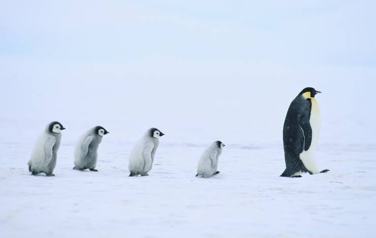 penguin leading others